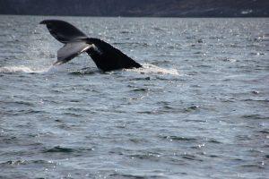 Und weg ist er – ein riesiger Wal taucht ab.