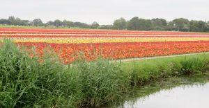 Vom Meer ins Blütenmeer. Zwischen Alkmaar und Den Helder liegt das Blumenparadies schlechthin - nicht für Blumenzüchter. Sie sind an den Zwiebeln interessiert und schneiden die Blüten einfach ab.