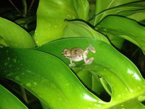 Alle Achtung: Diese daumennagelgroßen Froschmännchen verursachen mit ihrer Schallblase ein Pfeifen in einer Lautstärke von rund 60 Dezibel!
