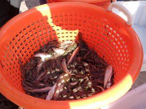Die Krabben, die ins Netz gegangen sind, werden direkt an Bord verarbeitet. - Foto: Dieter Warnick