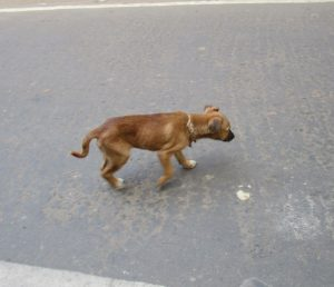 Herrenloser Hund in Dhaka.
