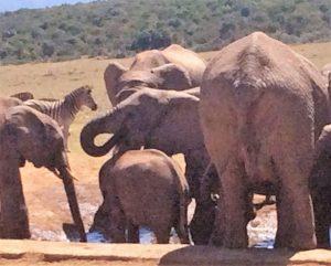 Die Elefanten scharen sich um eine Wasserstelle im Addo Elephant National Park. Sie trinken und besprühen ihren Körper mit dem kühlen Nass, während die Zebras gebührenden Abstand zu den Dickhäutern halten.