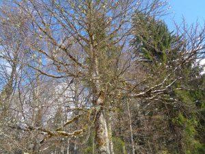 Im bayerischen Voralpenland ist der Baumbestand noch nicht bedroht. Dieses Exemplar mit seinen vielen Bartflechten ist ein gutes Beispiel dafür. - Foto: Dieter Warnick