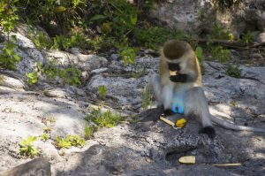 Eine männliche Meerkatze freut sich über eine Banane.