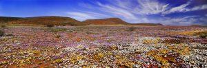 Ein Blütenmeer in weiß, pink, orange und gelb erwartet den Besucher im südafrikanischen Frühling. - Foto: South African Tourism