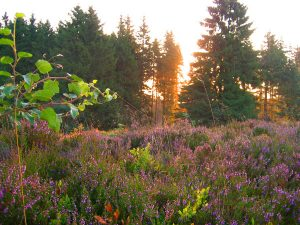 Ein Meer von blühendem Heidekraut färbt die Winterberger Hochheide im Spätsommer kräftig lila.- Foto: Ferienwelt Winterberg