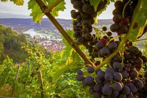 Hier, in einer der schönsten Weinregionen Deutschlands, Churfranken nämlich, lässt sich das Wandern mit allen Sinnen genießen. - Foto: epr / Churfranken e.V. / News Verlag / Dominik Stapf
