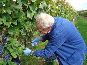 """Die Weinlese ist meist immer noch """"Handsache"""", auch wenn hie und da ein sogenannter Vollernter, der auf die Lese von Weintrauben spezialisiert ist, zum Einsatz kommt."""