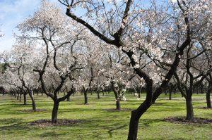 Wenn die Mandelbäume blühen, dann hat Mallorca einen ganz besonderen Reiz. - Foto: fincallorca