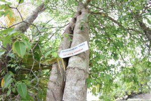 Vorsicht vor den Manchineel-Bäumen: Nicht anfassen, vor allem nicht im Regen unter ihnen Schutz suchen - sie sondern ein ätzendes Gift ab!