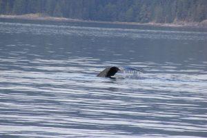 Ein riesiger Wal auf Tauchstation.
