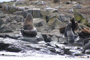 Diese Seelöwen bringt nichts aus der Ruhe