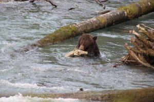 Auf Beutezug ist dieser junge Grizzly: