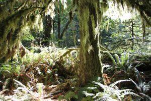 Alter Baumbestand mit Flechten nahe Spoar Lake.
