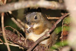 Drollig – ein kleines Eichhörnchen.