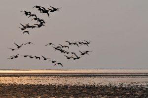 Vogelzug bei Sonnenuntergang – ein tolles Naturschauspiel. – Foto: Beate Ulich-Die Nordsee