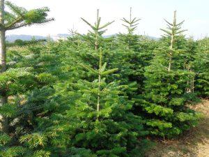Christbäume wohin man schaut: Jeder dritte Baum, der in Europa verkauft wird, kommt aus dem Sauerland. – Foto: Dieter Warnick