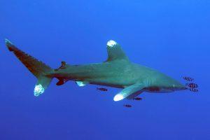 Der Tauchspot Elphinstone ist gut von Marsa Shagra aus zu erreichen. Hier lassen sich regelmäßig Haie blicken.