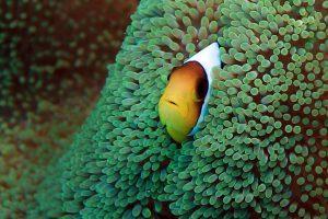 Anemonenfische verteidigen ihr Zuhause: Das Rote Meer ist voller Leben!