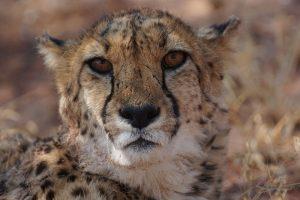 Auge in Auge mit den schnellsten Raubkatzen der Welt.