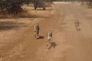 Geparden verfolgen ihre Beute. Sie liegt auf dem vorausfahrenden Pick-Up.