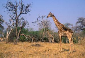 Giraffen im Mahango Nationalpark im Nordosten Namibias.