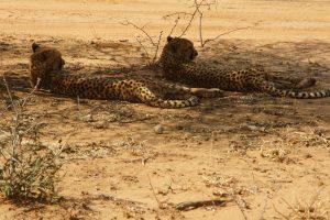 Zwei Geparden ruhen sich im kühlen Schatten aus.