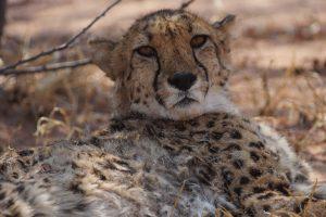 Diesem Geparden bietet der Cheetah Conservation Fund eine lebenslange Zuflucht.