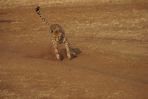 """Gepard beim morgendlichen """"Run""""."""