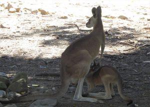 Kängurus zählen zu den Beuteltieren und sind typisch für Australien.