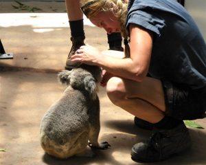 Ein Koala: Neben dem Känguru ist er ein Symbol Australiens.