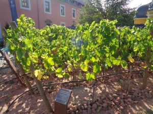 Auf dem Boden des Musterweingartens gedeihen – wie auch die Reben der Weinberge des Juliusspitals in ganz Weinfranken – auf drei verschiedenen Böden: Gips-Keuper, Muschelkalk und Buntsandstein . – Foto: Dieter Warnick