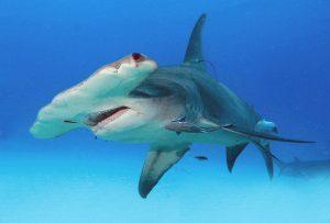 Die Hammerhaie wirken wie Wesen aus einer Mythenwelt.