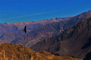 Majestätisch - der Condor schwebt über den Anden. Foto: pixabay.com