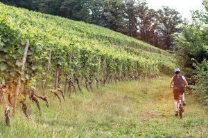 Kein ungewöhnlicher Anblick – eine Radlerin in den Weinbergen. – Foto:  Churfranken e.V. / Mainblende
