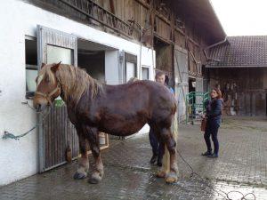 """Am Vortag des Ritts werden die Pferde, wie hier """"Bergfee"""", ordentlich abgeduscht. - Foto: Dieter Warnick"""