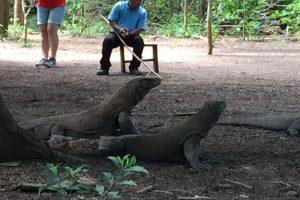 Komodo, eine der Kleinen Sundainseln, ist vor allem bekannt wegen seiner Warane, den größten lebenden Echsen. Die Tiere beobachten darf man nur in Begleitung und unter Aufsicht von örtlichen Führern der Naturschutzbehörde.