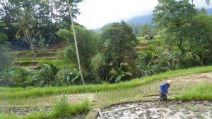 Reis ist das Hauptnahrungsmittel und wichtigstes Anbauprodukt Balis. Im Nass-Anbau werden pro Kilogramm Reis zwischen 3000 und 5000 Liter fließendes Wasser benötigt. Fließt das Wasser zu schnell, werden Bodenbestandteile und Nährstoffe abgeschwemmt; fließt das Wasser zu langsam, bilden sich Algen