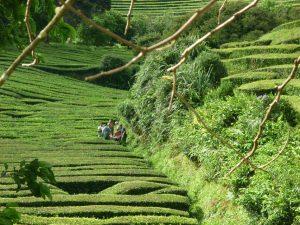 Teeplantage bei Maia.