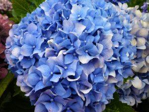 Blaue Hortensie - wachsen auf den Azoren als Hecken.