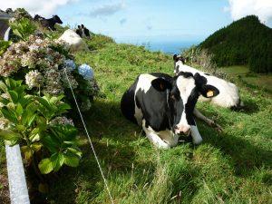 Hier gibt es mehr Kühe als Einwohner.