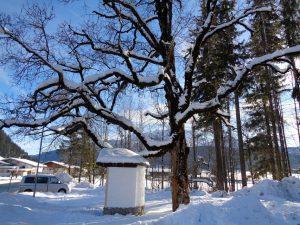 Die Äste dieses Baumes müssen, wenn es in Hochfilzen so richtig viel geschneit hat, noch um einiges mehr von der weißen Pracht tragen als auf diesem Foto. - Foto: Dieter Warnick