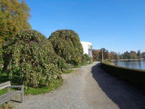 Vorbei an diesen knorrigen Trauerulmen und entlang des Uferweges in der Oskar-Groll-Anlage ist es nicht mehr weit zur Spielbank (im Hintergrund). – Foto: Dieter Warnick