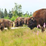 Das Wisent ist Europas schwerstes und größtes Landsäugetier. – Foto: BLB-Tourismus GmbH