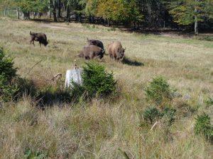 """Dieser Wiesent-Herde, entdeckt bei einer Wanderung auf dem """"Wisent-Pfad"""", geht es sichtlich gut . – Foto: Dieter Warnick"""