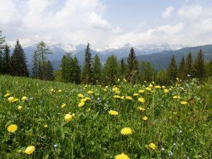Eine Frühlingswiese wie aus dem Bilderbuch – und im Hintergrund die verschneiten Dolomiten. – Foto: Birgit Weichmann