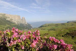 An den herrlich blühenden Alpenrosen kommt der Wanderer nicht vorbei. - Seiser Alm Marketing/Laurin Moser