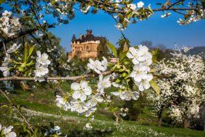 Kirschblüte bei Schloss Berlepsch. Foto: Regionalmanagement Nordhessen GmbH