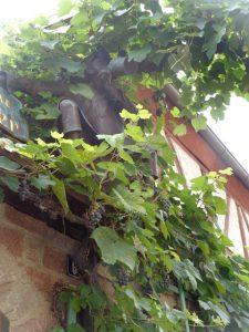 Gut versteckt hat es sich dieser Weinliebhaber hinter Reben bequem gemacht – Prosit. – Foto; Dieter Warnick