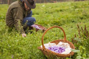 Fleißaufgabe – die Ernte von Safranblüten. – Foto: Doktorenhof